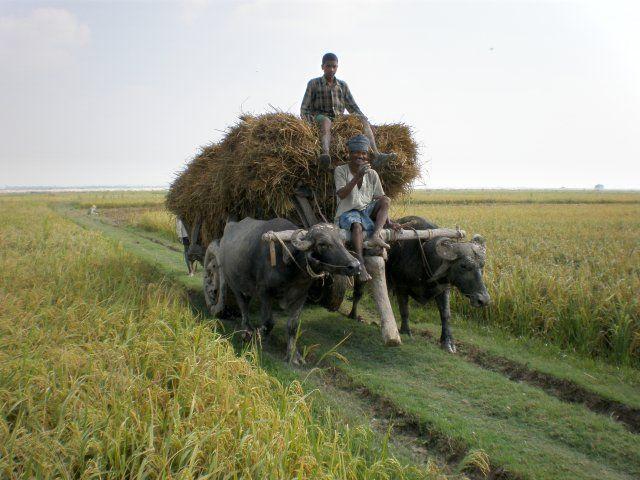Basmati rice from India